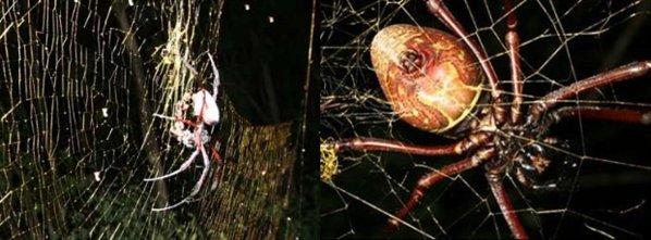 Nephila Komaci Nuevas especies descub...